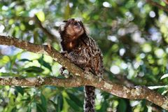 Callithrix jacchus in the tree. Baby marmoset as white tufts eating popcorn Royalty Free Stock Image