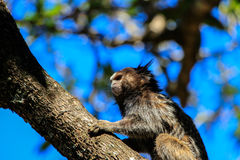 Callithrix monkey in a tree royalty free stock photos