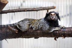 Callithrix penicillata, Black-tufted marmoset. The Callithrix penicillata, Black-tufted marmoset Royalty Free Stock Images