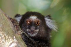 Callithrix pygméen photographie stock