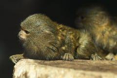 Callithrix pygmaea. Small monkey called Callithrix pygmaea Stock Photography