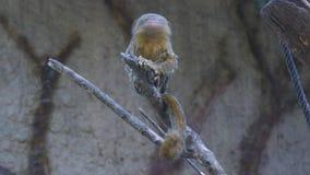 Callithrix pygmaea, Pygmäenseidenäffchen (4K) stock footage