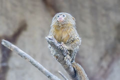 Callithrix pygmaea, Pygmy marmoset. Over a branch Stock Images