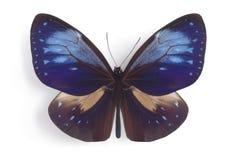 Callitoe do phaenareta de Euploea (macho) Fotografia de Stock Royalty Free