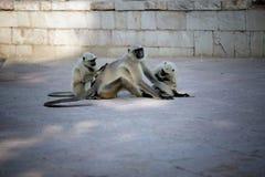 Callitriche femelle de photo se reposant sur la terre et le chef de nettoyage de paquet Photo libre de droits