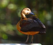 Callonetta leucophrys. The waterfowl (Callonetta leucophrys) is a small duck Stock Photo