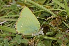 callophrys绿色翅上有细纹的蝶rubi 免版税图库摄影
