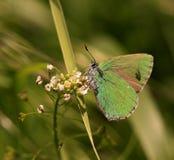 蝴蝶(Callophrys rubi) 库存照片