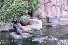 callorhinus毛皮拉丁命名密封ursinus 免版税库存照片