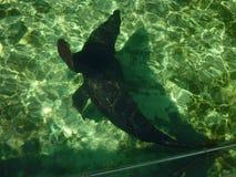 callorhinus futerkowy latin imienia foki ursinus Obrazy Royalty Free