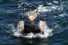 Callosidades meridionales de la ballena de R Imagen de archivo