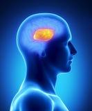 Callosum van het corpus - menselijk hersenendeel Royalty-vrije Stock Fotografie