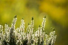 Calluna blanc vulgaris Images libres de droits
