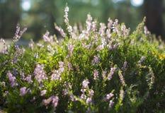 Calluna blosoom stockbilder