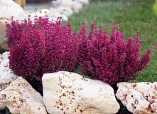Calluna, common heather. Calluna or common heather  is beautiful autumn perennial plants Stock Images