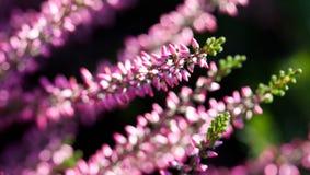 Calluna del giacimento di fiori di Violet Heather vulgaris Piccole piante lilla rosa del petalo, fondo molle Profondità del campo fotografia stock