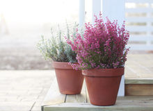 Calluna stock photos