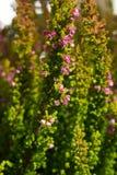 Calluna rosado vulgaris Fotografía de archivo
