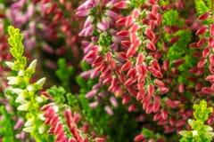 Calluna vulgaris Photographie stock libre de droits