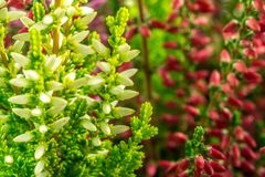 Calluna vulgaris Photos libres de droits