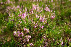 Calluna vulgaris Stock Photography