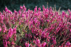 Calluna vulgaris Immagine Stock