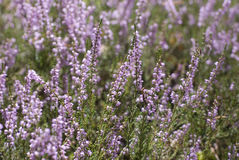 Calluna vulgaris Stock Images