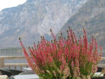 Pink Amethyst Heather flowers which are small bright color buds those covered all the plant. royalty free stock photos