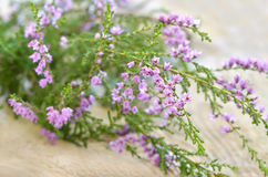 Calluna vulgaris (common heather) flowers on wooden surface Stock Photos