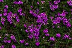 Calluna Vulgaris, common heather, ling flowers macro. Royalty Free Stock Photos