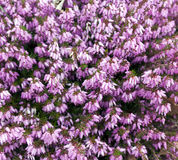 Calluna vulgaris (common heather, ling, or simply heather) Stock Photos