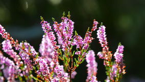 Calluna vulgaris common heather with sunlight from the back Stock Image