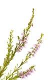 Calluna vulgaris, erica comune Fotografia Stock Libera da Diritti
