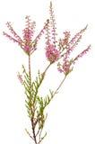 Calluna vulgaris flower. Isolated on white background Royalty Free Stock Image