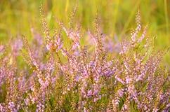 Calluna vulgaris flowers. On meadow Stock Photo