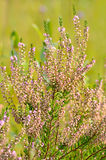 Calluna vulgaris flowers. On meadow, selective focus Stock Photography