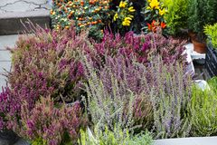 Calluna vulgaris flowers in pots sale in market. Calluna vulgaris flowers in pots sold in garden center known as common heather, ling, or simply heather Royalty Free Stock Photos
