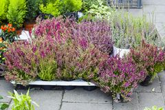 Calluna vulgaris flowers in pots sale in market. Calluna vulgaris flowers in pots sold in garden center known as common heather, ling, or simply heather Stock Photography