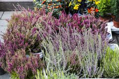 Calluna vulgaris flowers in pots sale in market. Calluna vulgaris flowers in pots sold in garden center known as common heather, ling, or simply heather Royalty Free Stock Image