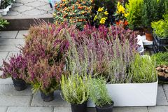 Calluna vulgaris flowers in pots sale in market. Calluna vulgaris flowers in pots sold in garden center known as common heather, ling, or simply heather Royalty Free Stock Photography