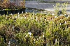 Calluna vulgaris flowers in pots sold in garden center. Ling flowering plants. Beautiful white Heather flowers Stock Image