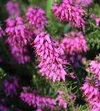 Calluna vulgaris in a garden. Pink Calluna vulgaris in a garden Stock Photos