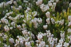 Calluna vulgaris in a garden. White Calluna vulgaris in a garden Stock Images