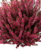 Calluna vulgaris or heather Royalty Free Stock Photography