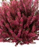Calluna vulgaris or heather. Purple heather or Calluna vulgaris on white background Royalty Free Stock Photography