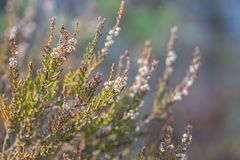 Calluna vulgaris , heather, evergreen shrub on wooden background closeup stock photos