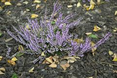 Calluna vulgaris Hilda with delicate purple flowers. Closeup common heater or calluna vulgaris Hilda with blurred background at fall garden royalty free stock image