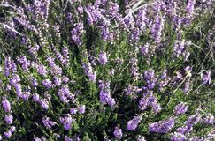 Calluna vulgaris known as common heather or ling. In Kampinos National Park, Poland Royalty Free Stock Photo