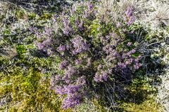 Calluna vulgaris known as common heather or ling. In Kampinos National Park, Poland Stock Photo