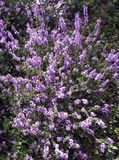 Calluna vulgaris known as common heather or ling. In Kampinos National Park, Poland Stock Photography